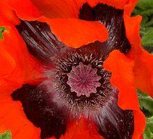 Giant Poppy by John Evans