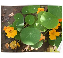 A mix of orange flowers and round green leaves with sun and shadow Poster