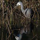 Heron Reflecting by Phillip Weyers