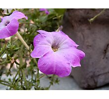 A photo of a purple trumpet shaped flower Photographic Print