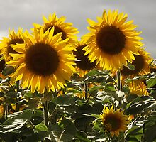 Sunflower heads by graceloves