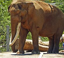 Bull Elephant by 2HivelysArt