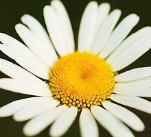Daisy by Seth LaGrange