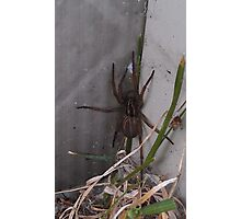 Wolf Spider Photographic Print