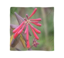 Trumpet Honeysuckle - Buds of Coral Woodbine Scarf