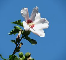 Rose Of Sharon by Ron Russell