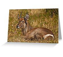 Waterbuck resting Greeting Card