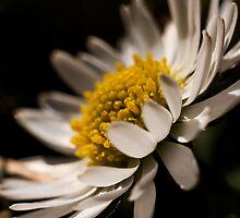 Daisy by William Rottenburg