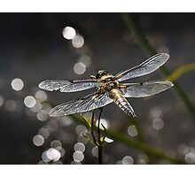 Broad Bodied Chaser Photographic Print