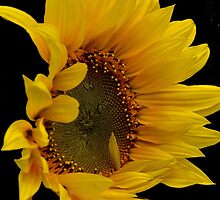 sunflower by Nicole W.