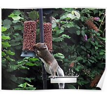 Squirrel raiding bird nut feeder Poster