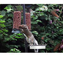 Squirrel raiding bird nut feeder Photographic Print