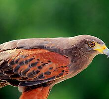 Harris Hawk by Larry Trupp