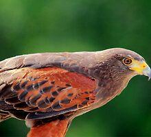 Harris Hawk by Larry Trupp