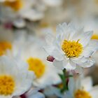 Daisy cluster by BecDphotography