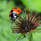 Ladybird 09 by Magic-Moments