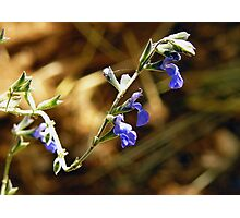 Herb  flower Photographic Print