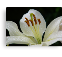 White lily with RainDrops Canvas Print