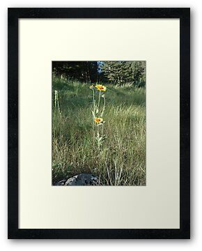 CONEFLOWERS - SWEET GRASS COUNTY, MT by May Lattanzio