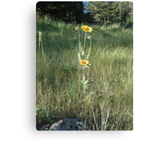 CONEFLOWERS - SWEET GRASS COUNTY, MT Canvas Print