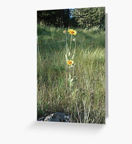 CONEFLOWERS - SWEET GRASS COUNTY, MT Greeting Card