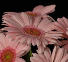 Pink Gerberas Sticker