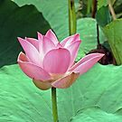 Lotus by globeboater