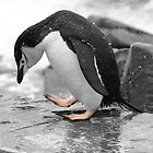 Chinstrap Penguin by rosepetal2012