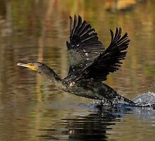 Cormorant Takeoff by William C. Gladish