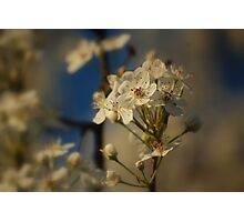 white dogwood  Photographic Print