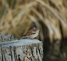 Brown Bird  by totorohappy1984