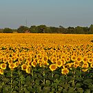 Sunflower Sea by Dlouise