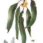 Eucalyptus globulus - Southern Bluegum by Cheryl Hodges