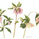 Helleborus orientalis - Lenten Rose by Cheryl Hodges