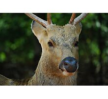 male deer  Photographic Print