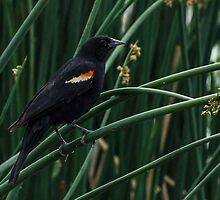 Redwing in Reeds by Jon Rista