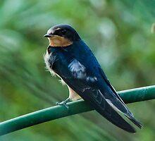 Evening Swallow by Jon Rista