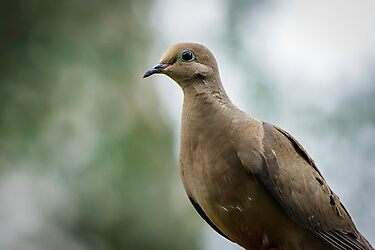 Mourning Dove by Jon Rista