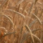 Dream Of Wheat by sundawg7