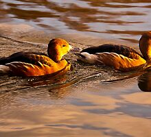 Fulvous Whistling Ducks by rosepetal2012