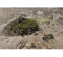 Life on Bare Rock - Junipers on a Mountaintop Photographic Print