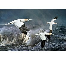 Gannets Skimming the Waves Photographic Print