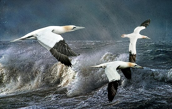 Gannets Skimming the Waves by Tarrby