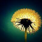 dandelion by Diana Calvario