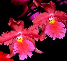 Deep Red orchids by cclaude