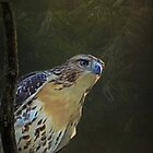 Redtail Hawk by swaby