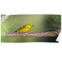 Yellow Warbler on Pine Poster