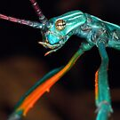 Achrioptera fallax,male by jimmy hoffman