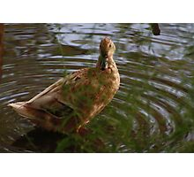 Mixed Breed Duck Photographic Print