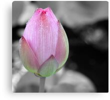 water lily bud Canvas Print